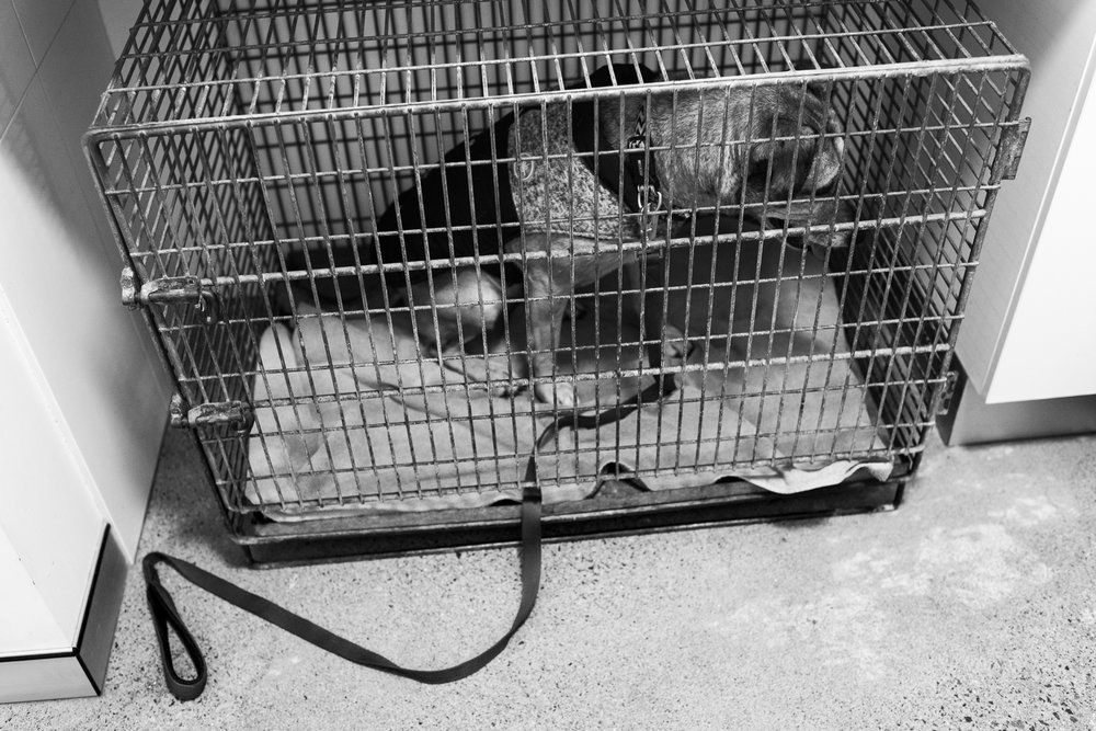 A stray has been brought in, which requires the practice to try to identify the dog. If unidentifiable - if the dog has not been microchipped, or the dog has been microchipped but the contact details are out of date, or the dog is not microchipped and does not have dog tags - the practice must organise with Domestic Animal Services (DAS) to pick the dog up. The practice had arranged for DAS to pick this unidentifiable dog up but the owner called to see if it was there just as DAS turned up.  July, 2018 .