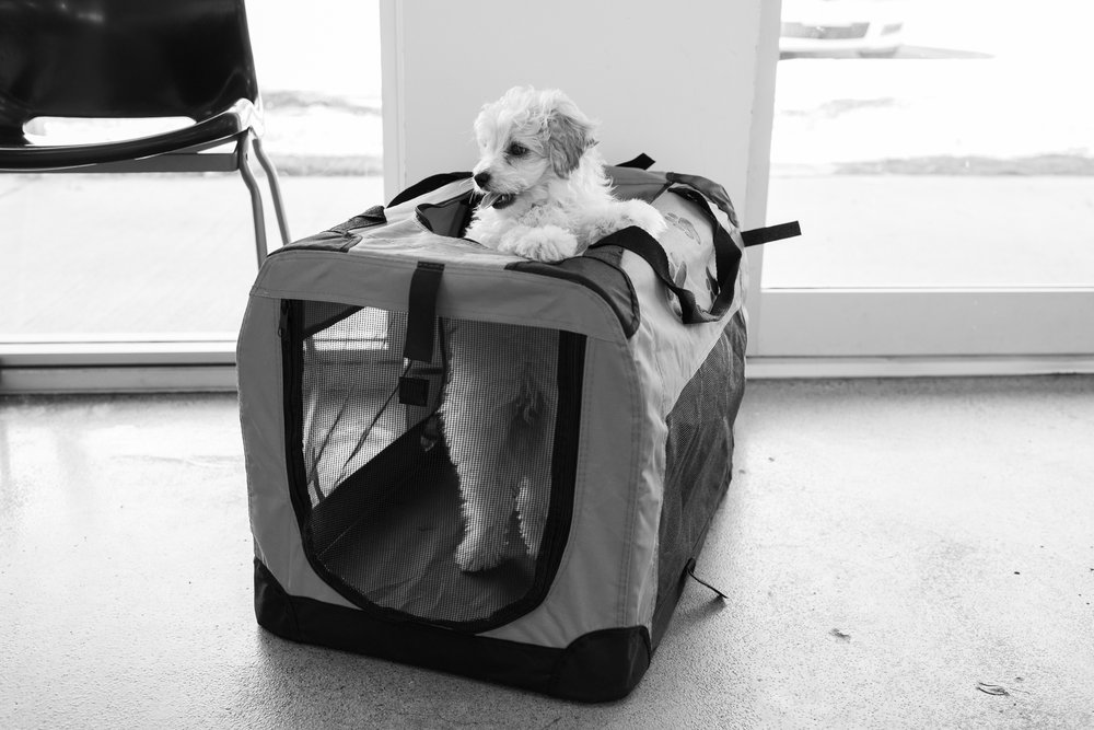 The ability for a puppy like Bailey to bring warmth to a practice is palpable and the therapeutic value cannot be overstated.  15 March, 2018.