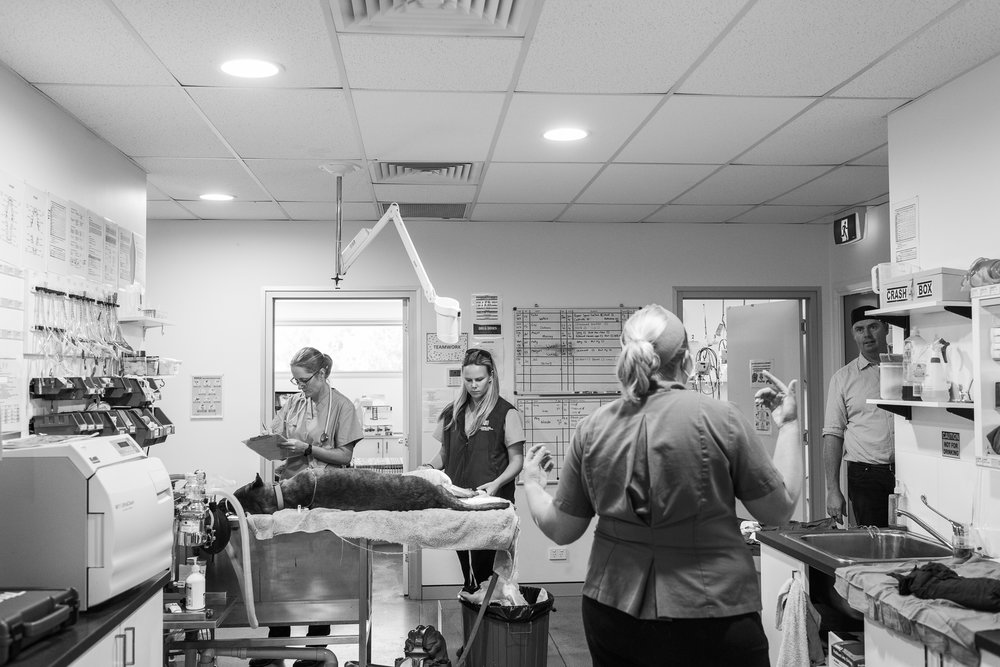 Nurse Georgina Earl ( rear-left ) and Head Nurse Stephanie Robertson ( rear-middle ) continue with preparing Turbo for surgery while Dr Fiona Starr ( front ) and Dr Charlie Webb start scrubbing in.  16 March, 2018.