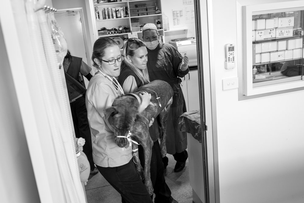 Nurse Georgine Earl ( left ) and Head Nurse Stephanie Robertson ( middle ) take Turbo to theatre, followed by a scrubbed-in Dr Fiona Starr.  16 March, 2018.