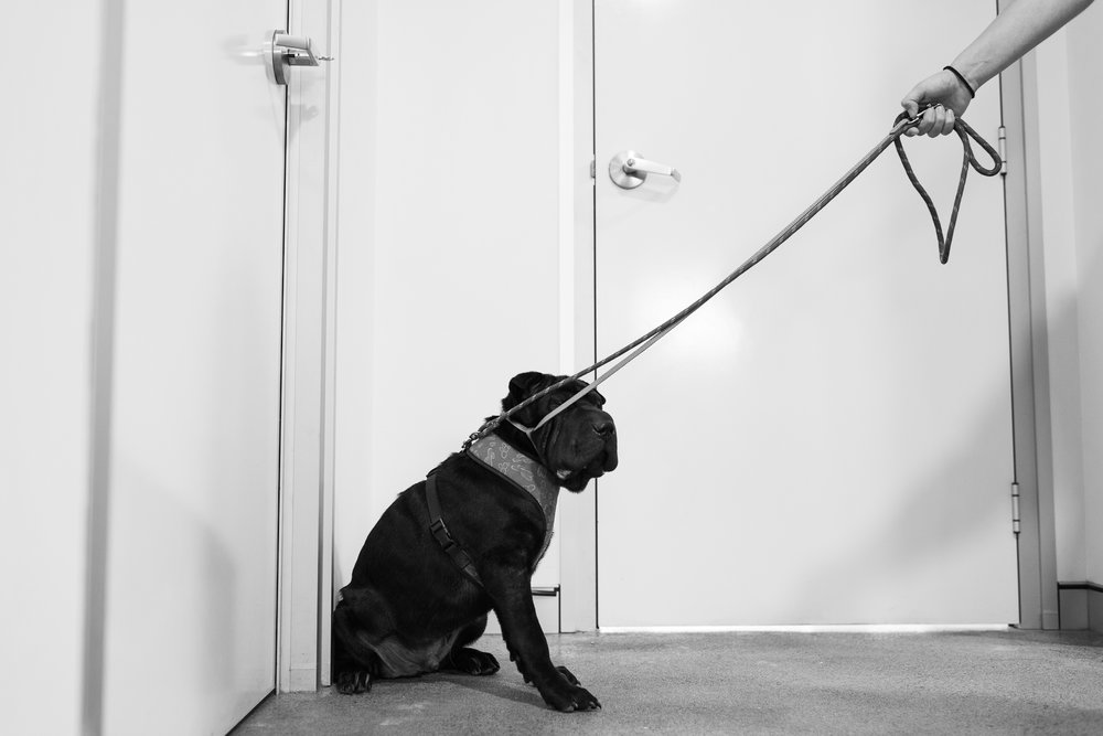 Diesel is a Shar Pei, a breed wary of strangers and prone to aggression. Knowing this means precautions can be taken by practice staff to keeping themselves and the animals safe during treatment.  2 January, 2018.
