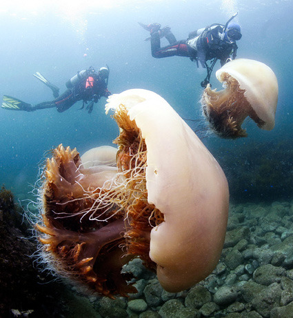 GIANT JELLYFISH PICTURES: Japan's Nomura Invasion            via  news.nationalgeographic.com
