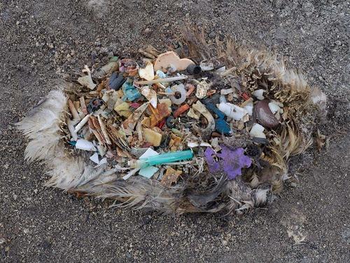albatross chicks that are fed plastic by their parents    via  chrisjordan.com