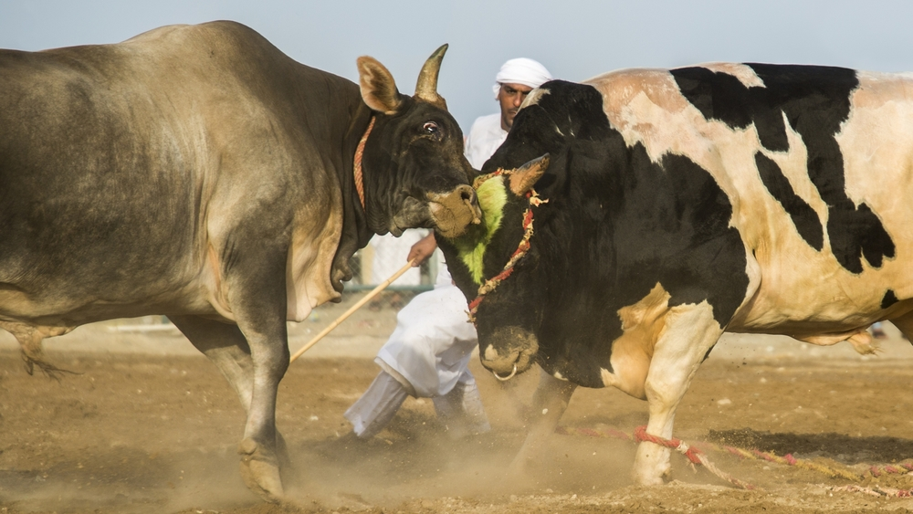 Two bulls clash as a trainer looks on during a weekly gathering in Fujairah, United Arab Emirates. During the day dozens of bulls fight to prove their strength and breeding value.  Published as main artwork to a news feature.
