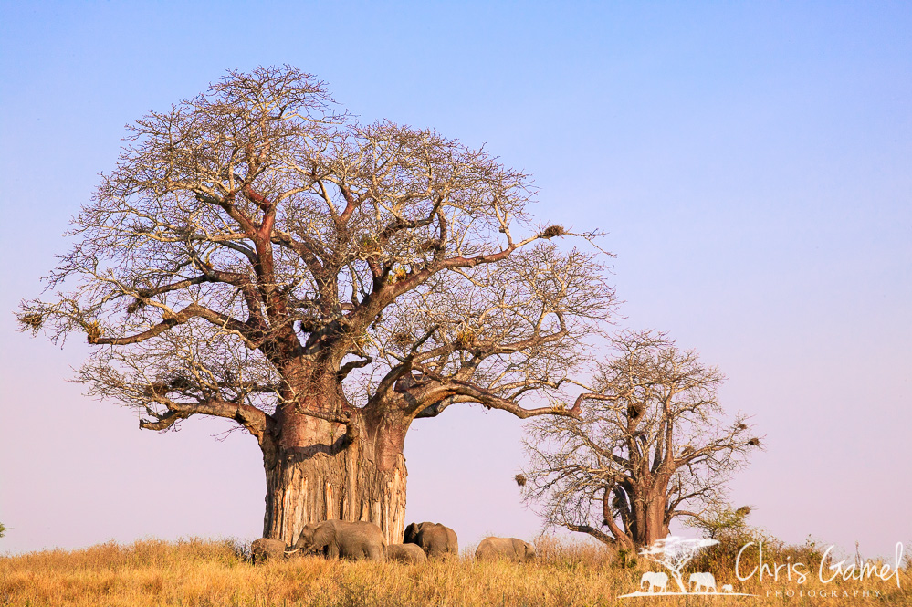 Elephants at the baobab tree