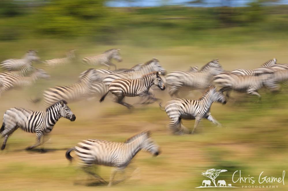 Zebra race