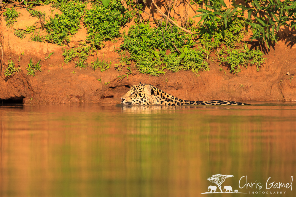 Jaguar moving downstream