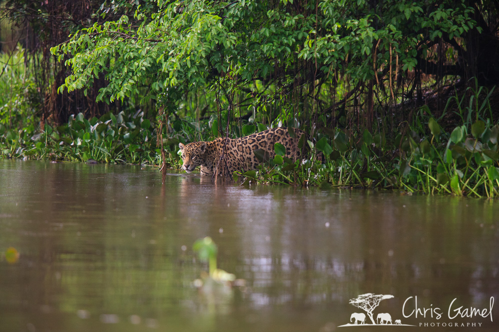 Jaguar entering the river