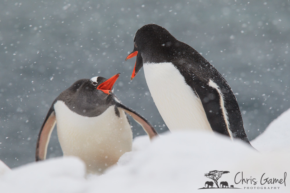 Gentoo Penguins Fighting
