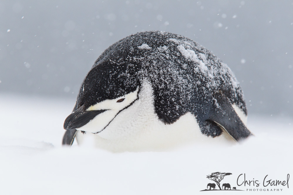 Chinstrap Penguin Lying the the Snow.