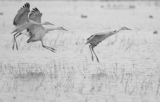 Sandhill cranes | grus canadensis landing at the Bosque del Apache.
