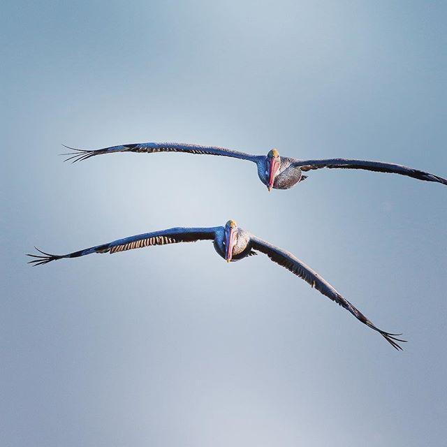 Brown pelican (Pelecanus occidentalis). Life list: see Brown pelicans dive.