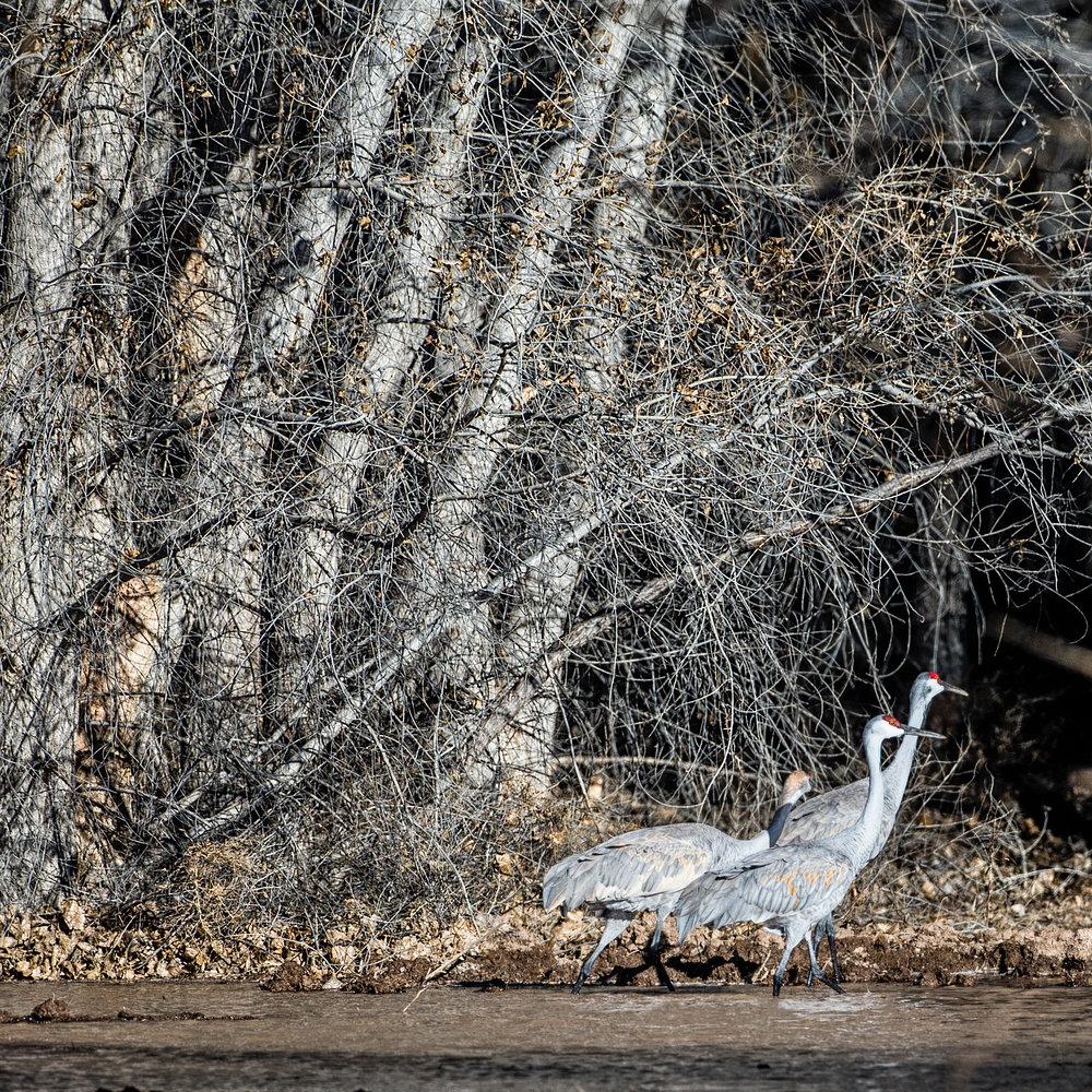 Sandhill cranes (Grus canadensis) at the Bosque del Apache.