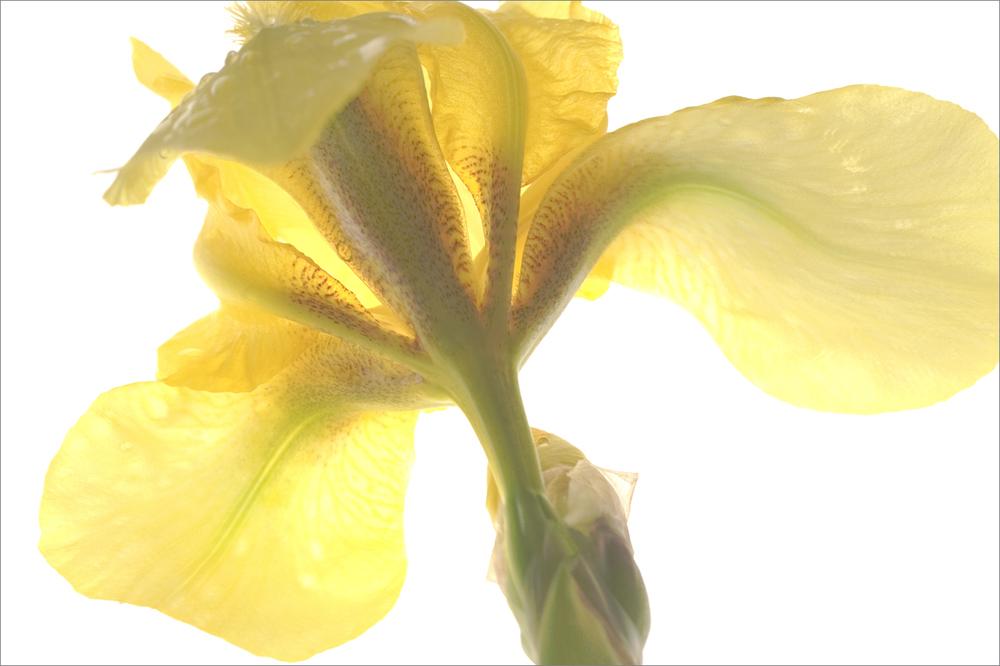 Daffodil   No.  B3432.33.34a