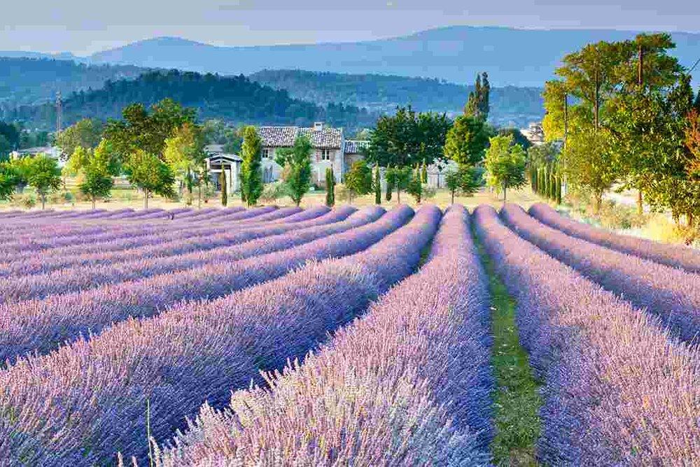 france_provence-lavender-fields.jpg