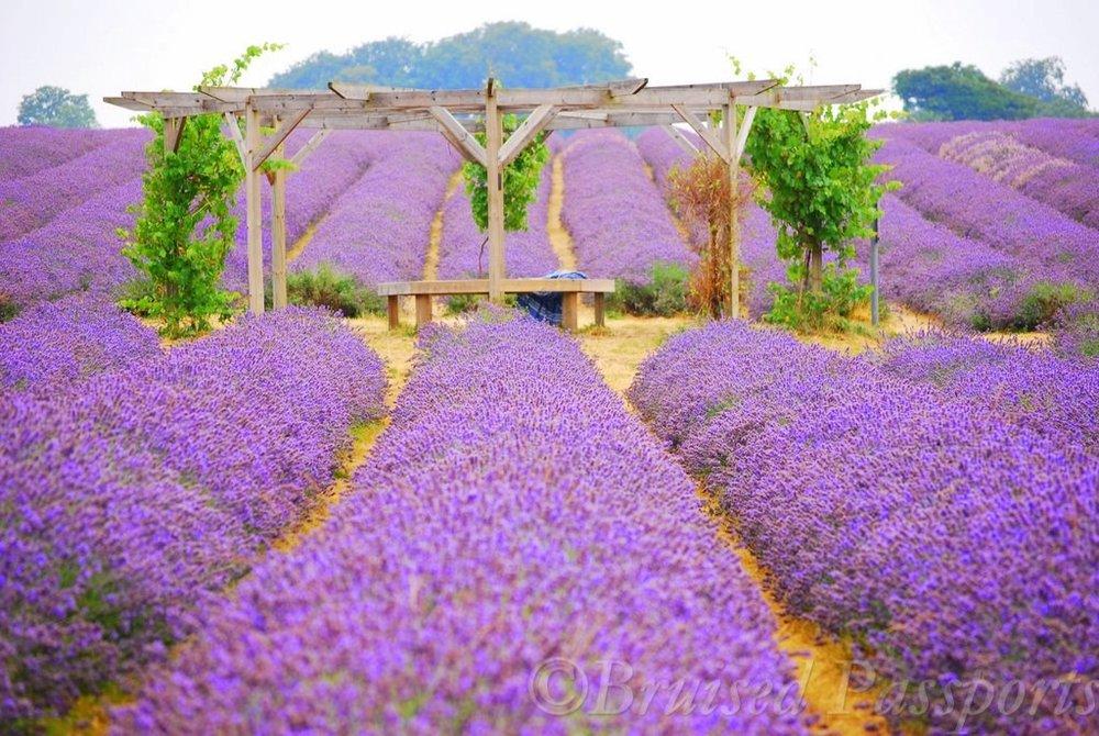 mayfield-lavender-farm-bruised-passports-24.jpg