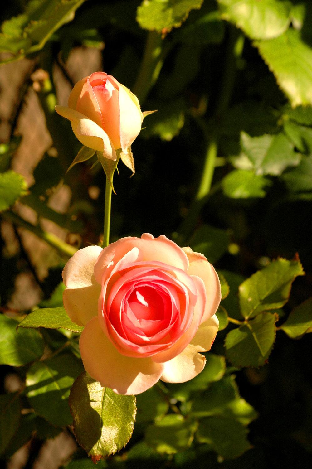Nature-Rose.jpg