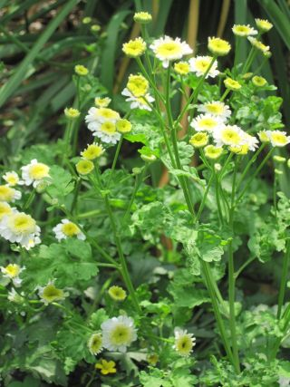FEVERFEW: Anti-inflammatory; ingredient in Osmosis Calm Serum.