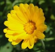 CALENDULA: Anti-inflammatory, anti-viral, anti-fungal; Ingredient in Osmosis Immerse.