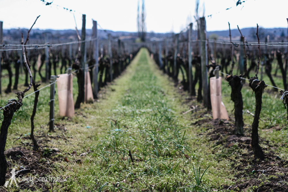 These are how the vineyards look in March - just stubs with two bare branches
