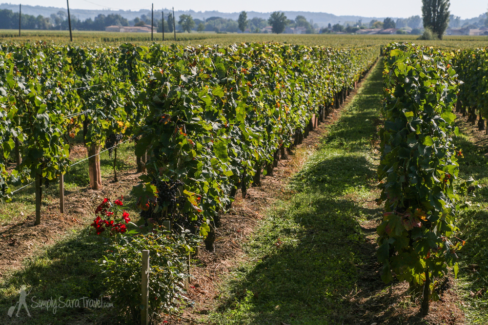 The same plot of land at Château Beaurang in September, just before the harvest