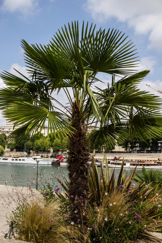 Small Palm Tree at Jardin Tino-Rossi, Paris