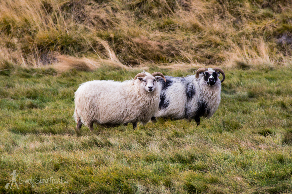 Icelandic sheep are so cute!
