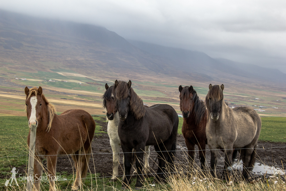 Icelandic herd of horses