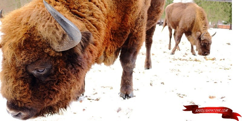 Bialowieza is home to these huge bison!