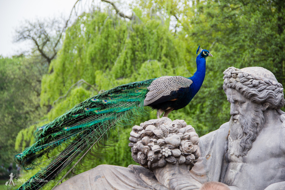 Peacock inŁazienki Park, Warsaw, Poland