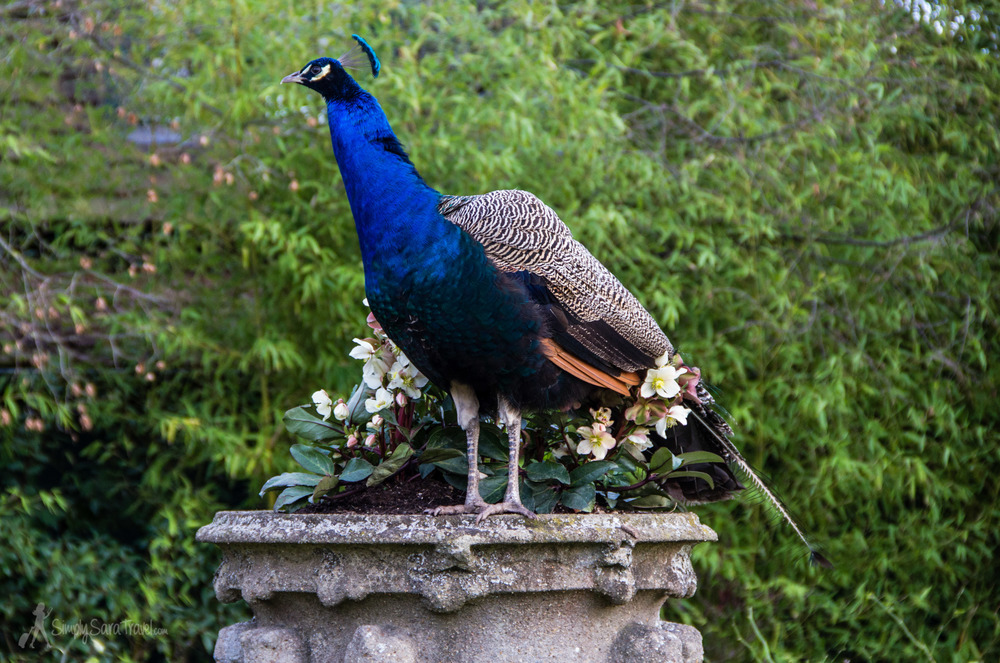 Many of the birds are in cages, but the peacocks wander the grounds freely. Don't forget to look up to spot these vibrantly-colored birds!