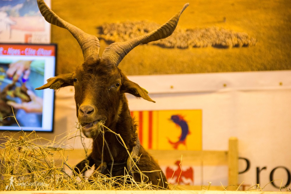 Goat eating hay, Salon International de l'Agriculture (International Agricultural Show) Paris France