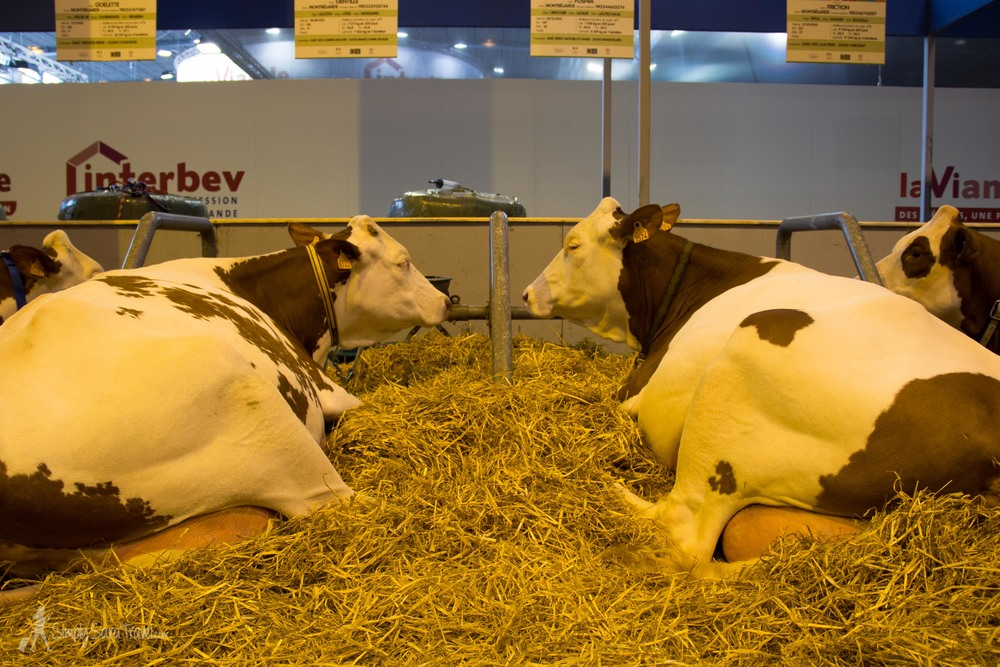 Two cows laying down at Salon International de l'Agriculture (International Agricultural Show) Paris France