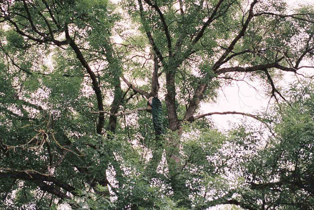 Pfau im Rosengarten