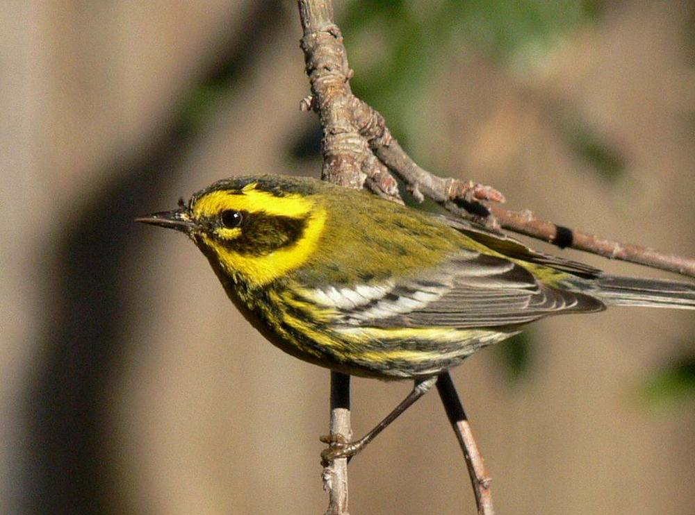 Male Townsend's Warbler from  Small Wild Bird Clinic