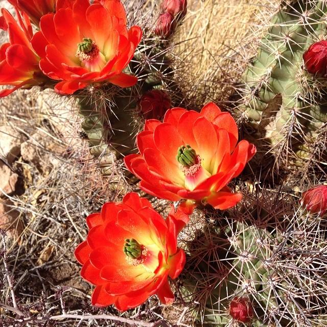 Hueco cactus blossoms.