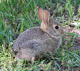270px-Rabbit_in_montana.jpg