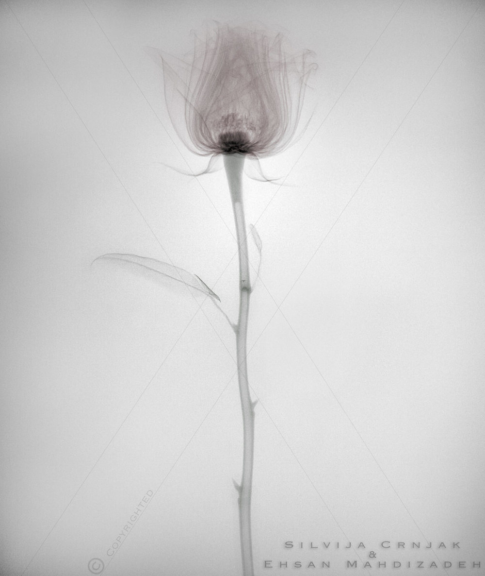 silvija-crnjak-ehsan-mahdizadeh-artists-xray-rose-award-winning-conceptual-advertising-photography.jpg