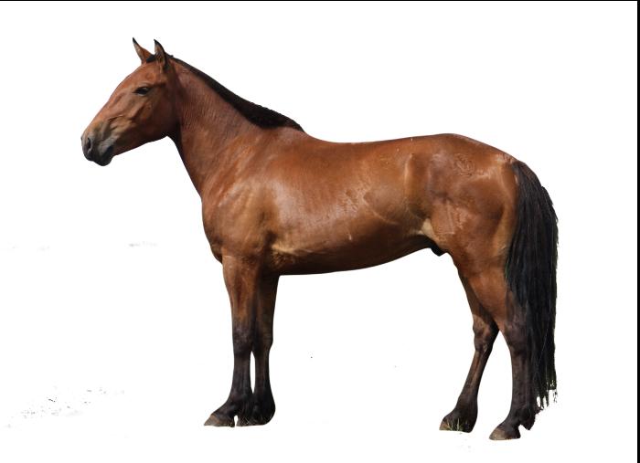 horse cutout.png