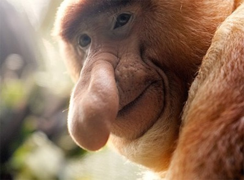 The Probiscus monkey, so called as he has a schlong for a nose