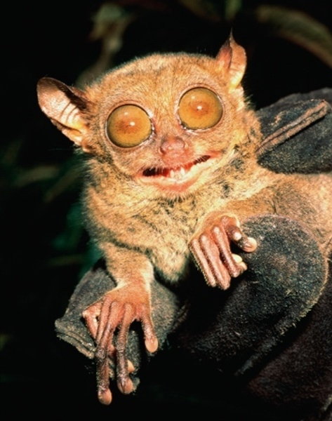 The Philippine Tarsier: perpetually surprised
