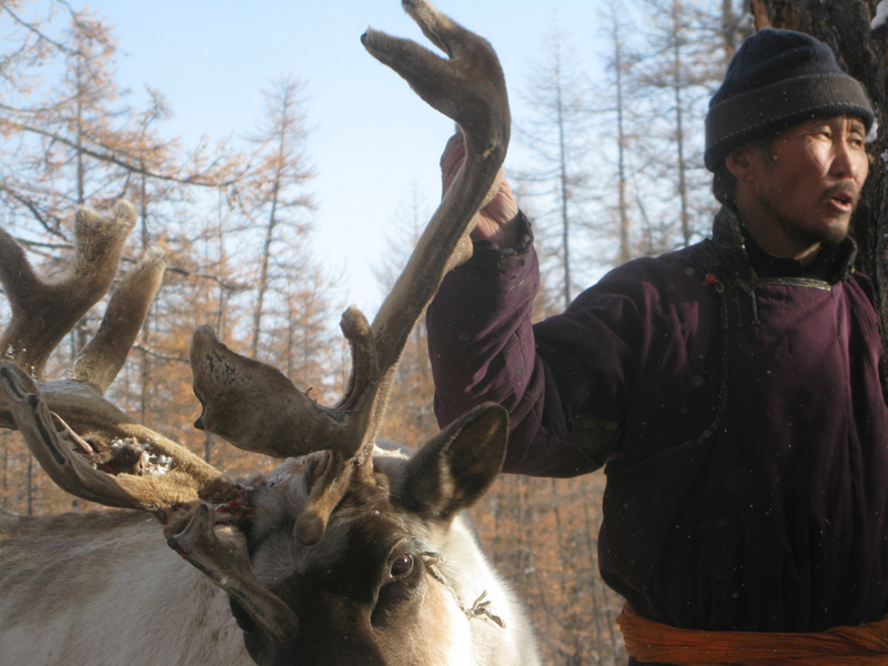 Herder Ganbat explains how reindeers work