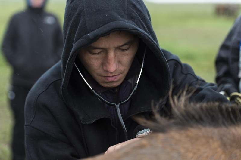Vet Nandintsetseg checks a horse's heart rate at horse station 2