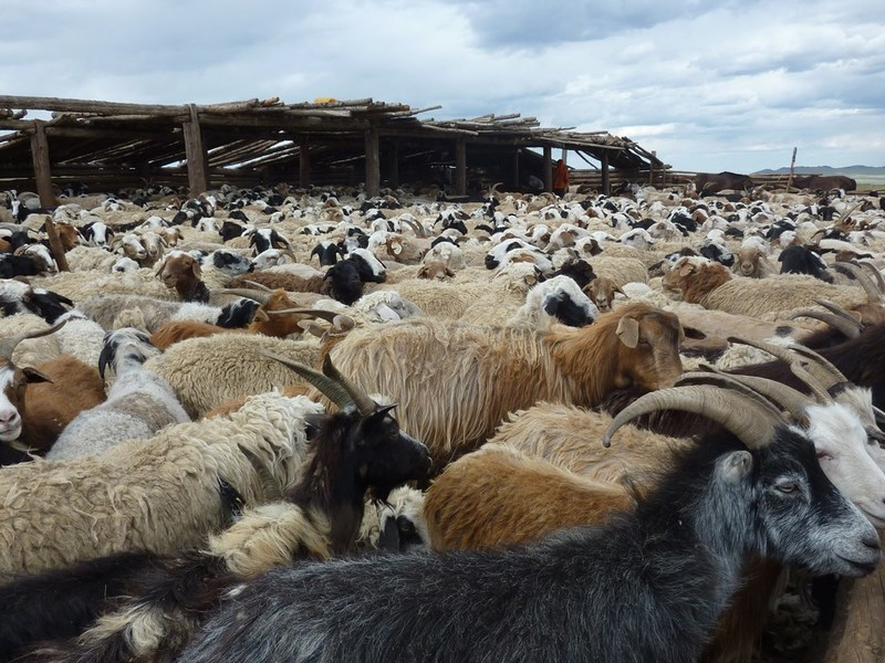 It can be hard to break it to the 'no's'.  These sheep and goats were stoic about not being selected for the Mongol Derby.  Others put up more resistance.