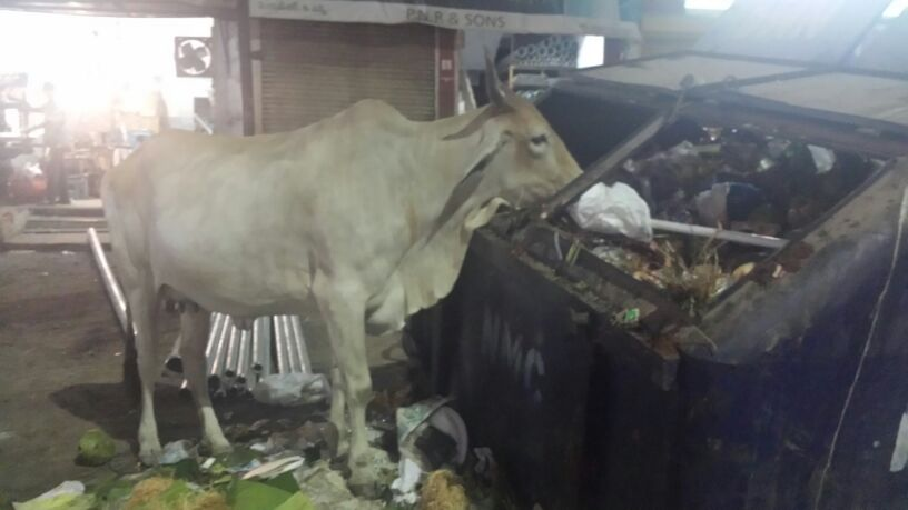 A cow eating out of a dumpster. Taken by Jon of Altered Beast