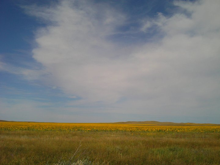 Endless fields of Sunflowers.jpg