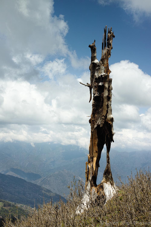 tree struck by lightening near ShankhPal.jpg