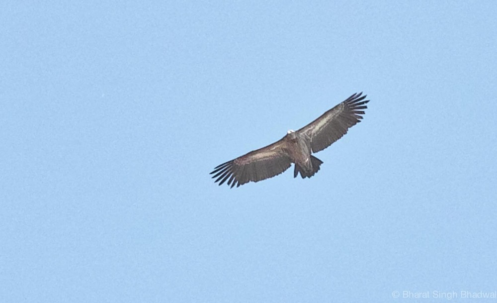 A Himalayan Vulture soars overhead.