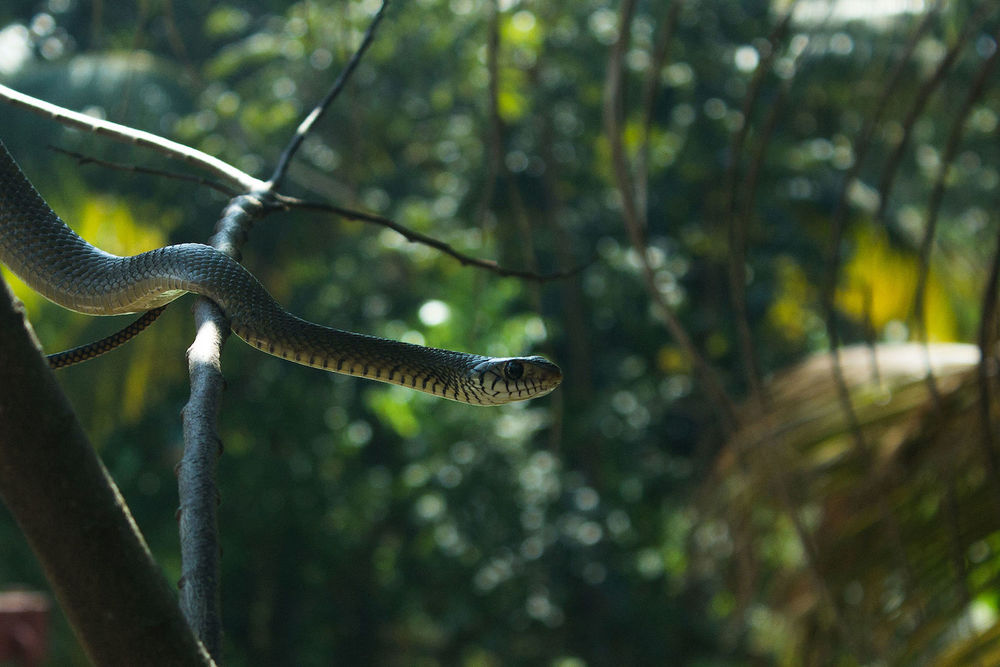 Non poisonous rat snake or Dhaman.By Varkey Parakkal (Own work)  CC BY-SA 4.0  via  Wikimedia Commons