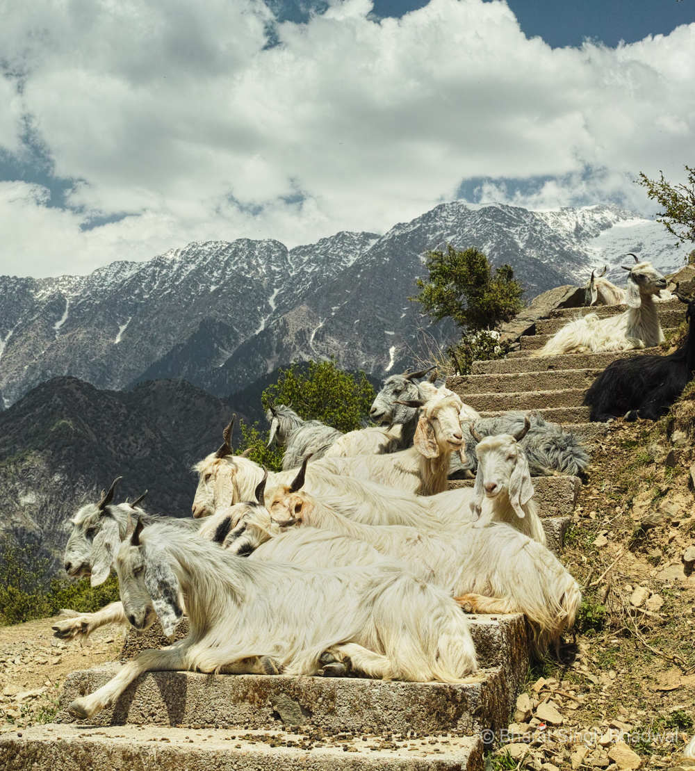 Mountain goats framed by Dhauladhar mountains